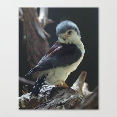 African Pygmy Falcon Canvas Print
