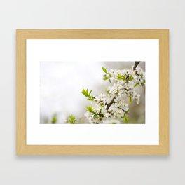 Blooming Cerasus cherry tree twig Framed Art Print