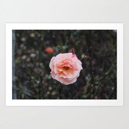 Blooming Blush Rose Art Print