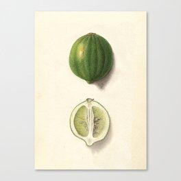 Vintage Illustration of a Lime Canvas Print