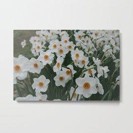Daffodil 'Dreamlight' Metal Print