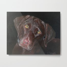 Inquisitive Chocolate Labrador Metal Print