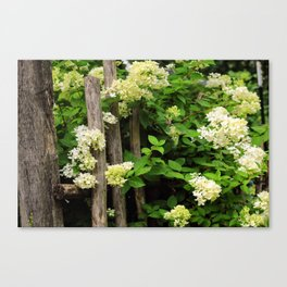 White Hydrangeas in Bloom on Wooden Fence Canvas Print