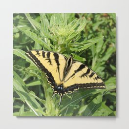 Swallowtail at Rest on Greenery Metal Print