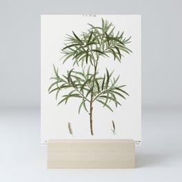 Bitter willow Salix angustifolia from Traite des Arbres et Arbustes que lon cultive en France en ple Mini Art Print
