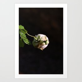 White rose in Champagne Art Print