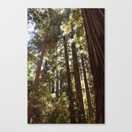 Redwood Forest XII Canvas Print