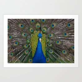 peacock looking at you Art Print