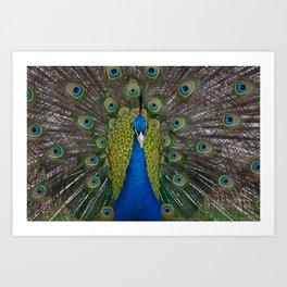 peacock looking at you Art Print