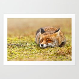 Comfortably Fox (red fox sleeping) Art Print