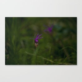 Calypso bulbosa Canvas Print