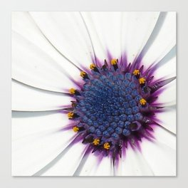 Beautiful White African Daisy Close-Up Macro  Canvas Print
