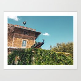 Two birds with one stone - flying pigeon and posing peacock Art Print
