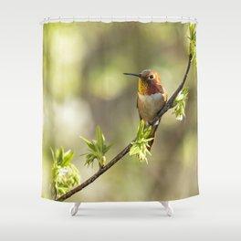 Male Rufous Hummingbird on a Branch Shower Curtain