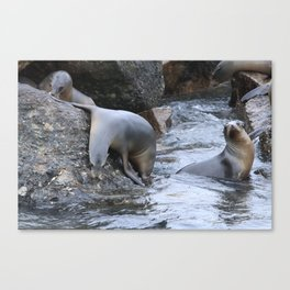 California Sea Lions in Monterey Bay Canvas Print