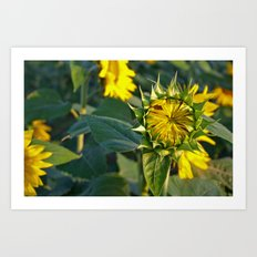 Sunflower Fields Forever - No. 4 Art Print