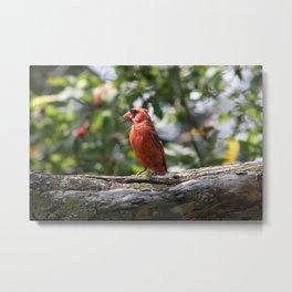 Summer Cardinal Metal Print
