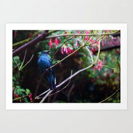 Asian Fairy Bluebird Art Print