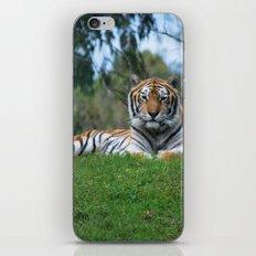 Tiger Staring Me Down - Safari iPhone & iPod Skin