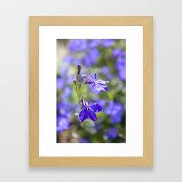 Blue lobelia Framed Art Print