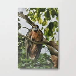 Boat-billed Heron Metal Print