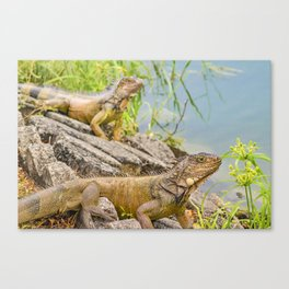 Iguanas at Shore of River Canvas Print