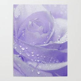 Rose with Drops 085 Poster