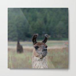 Llama Portrait - 1 Metal Print