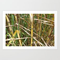 Sugar cane. Art Print