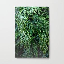Pacific Redcedar Metal Print