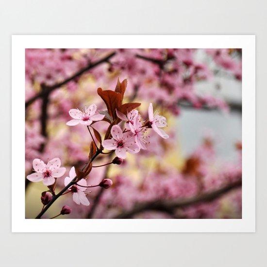 Pink Cherry Blossoms - Spring Flowers Art Print