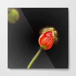 Two Tiny Poppy Buds Opening Metal Print
