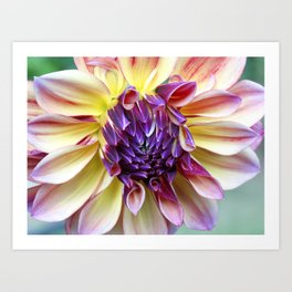 Purple and Yellow Dahlia Art Print