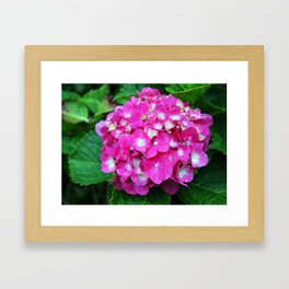 Pink Hydrangea With White Center Framed Art Print