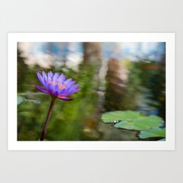 A puple lily flower in the pond Art Print