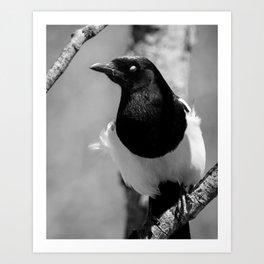 Black-billed Magpie Blinking Art Print