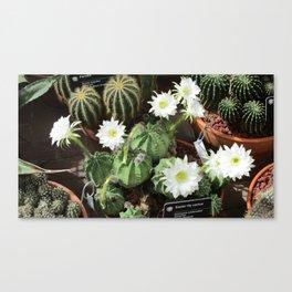White Flowering Cactus Canvas Print