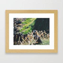 Puffin On Staffa Island Framed Art Print