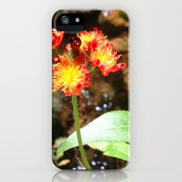 Watercolor Flower, Orange Hawkweed 01, Boulder, Colorado, Fox and Cubs iPhone Case