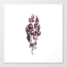British Sea Weed Canvas Print