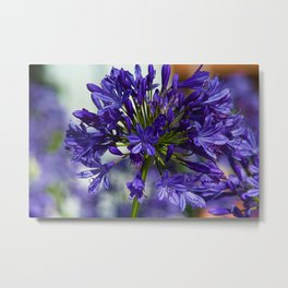 Lily of the Nile Agapanthus Flower Metal Print