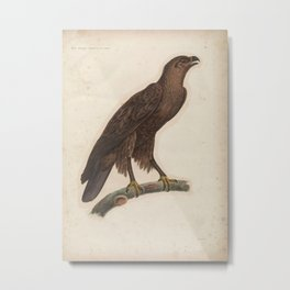 Greater Spotted Eagle aquila clanga1 Metal Print