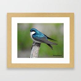 Male Tree Swallow II Framed Art Print