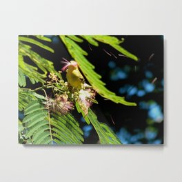 Mimosa mouthful Metal Print