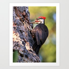 Pileated Woodpecker at Work Art Print
