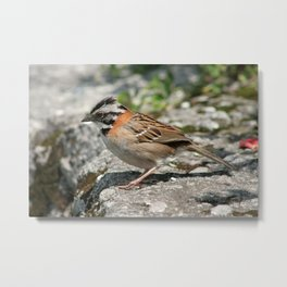 Rufous Collared Sparrow on a Ledge Metal Print