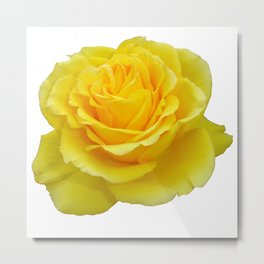 Beautiful Yellow Rose Closeup Isolated on White Metal Print