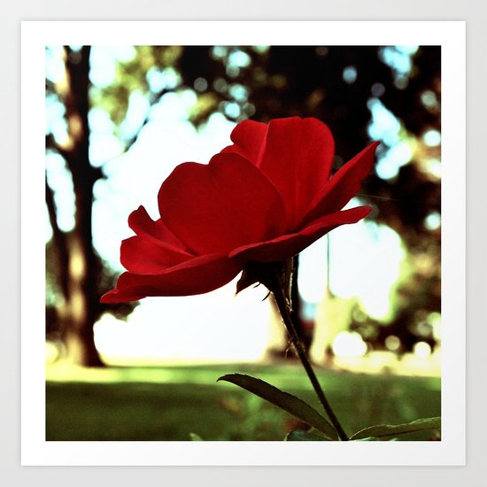 Autumn red rose Art Print