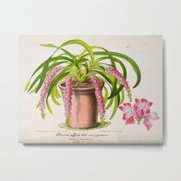 Aerides Affine Var Roseum Vintage Botanical Floral Flower Plant Scientific Metal Print