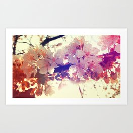 White cherry flowers Art Print
